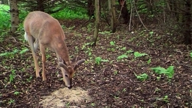 Deer Minerals And Attractants When Is The Best Time To