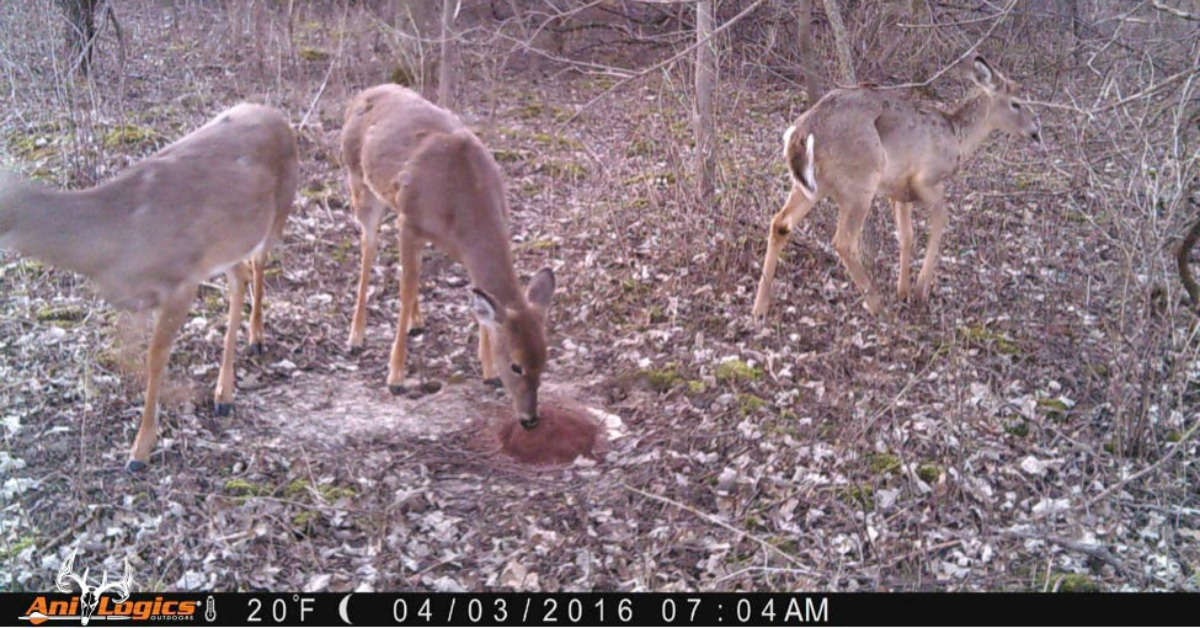 Whitetail Deer eating Ani-Mineral Block