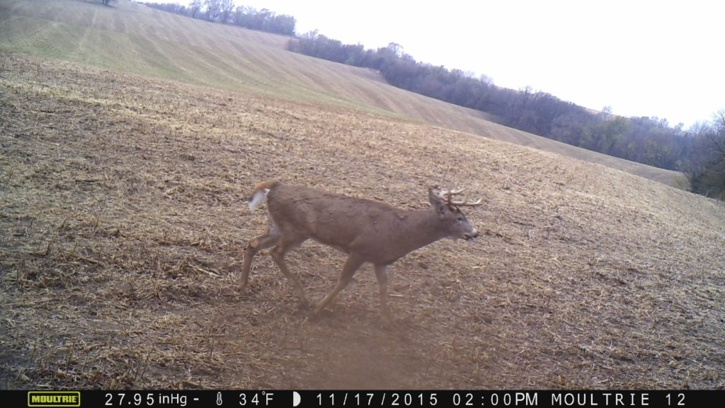 Deer Rut