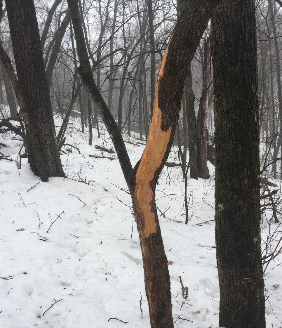 Spring Deer Scouting