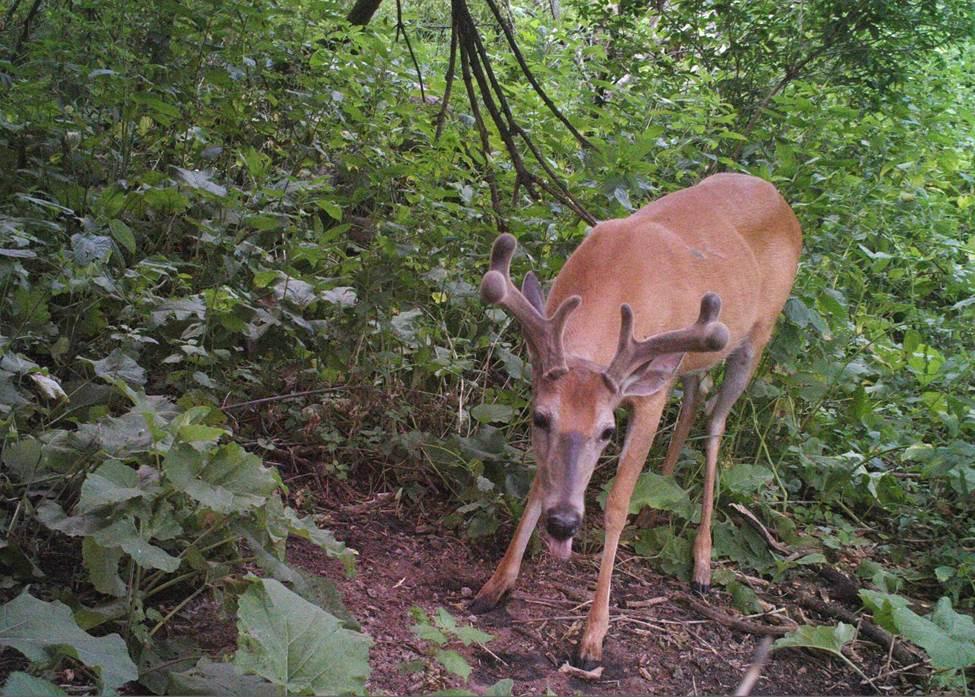 Whitetail Deer in Velvet