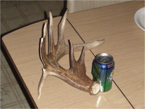 Whitetail Shed Antler