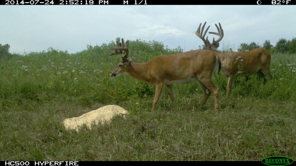 Deer eating Ani-Supplement Gold